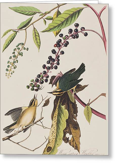 Warblers Greeting Cards - Worm eating Warbler  Greeting Card by John James Audubon