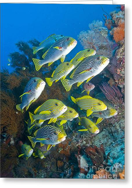 Undersea Photography Photographs Greeting Cards - Yellow And Blue Striped Sweeltip Fish Greeting Card by Mathieu Meur