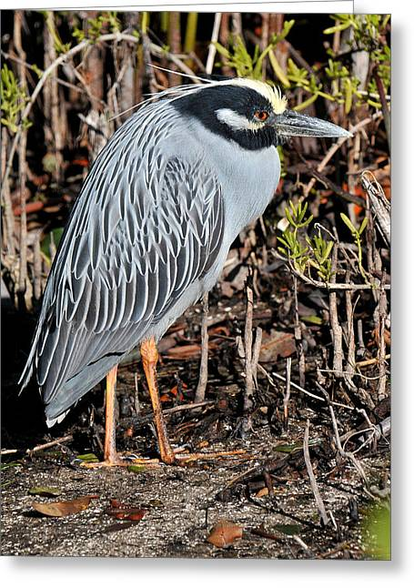 Yellow-crowned Night Heron Greeting Cards - Yellow Crowned Night Heron Greeting Card by Alan Lenk