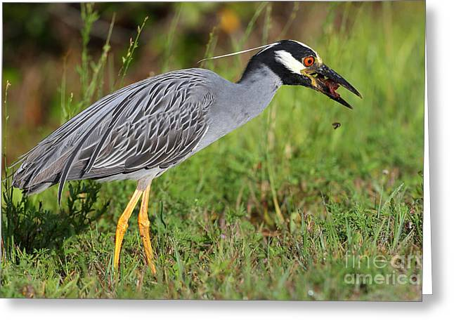 Yellow-crowned Night Heron Greeting Cards - Yellow crowned night heron Greeting Card by Richard Mann