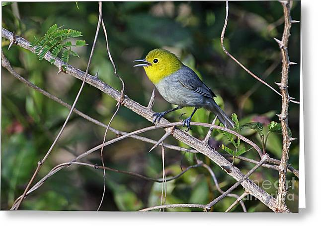 Greater Antilles Greeting Cards - Yellow-headed Warbler Greeting Card by Neil Bowman/FLPA