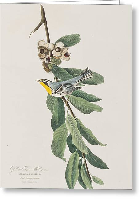Yellow Leaves Drawings Greeting Cards - Yellow Throated Warbler Greeting Card by John James Audubon