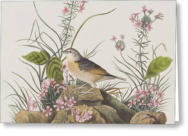 Sparrow Greeting Cards - Yellow-winged Sparrow Greeting Card by John James Audubon