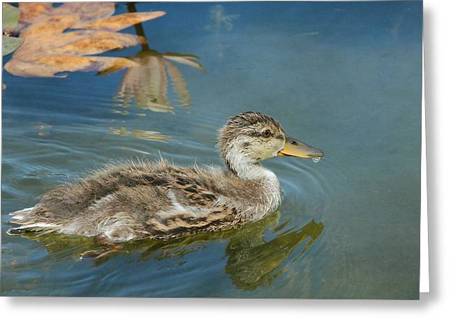 Mallard Ducklings Greeting Cards - Young And Bold Greeting Card by Fraida Gutovich