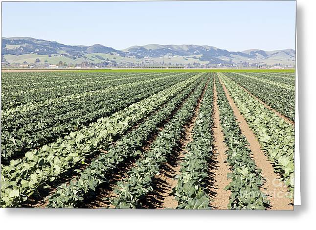 Broccoli Greeting Cards - Young Broccoli Field For Seed Production Greeting Card by Inga Spence
