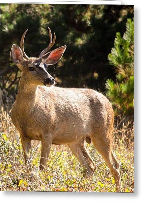 Big Sur Greeting Cards - Young Buck  Greeting Card by Patricia  Wensel