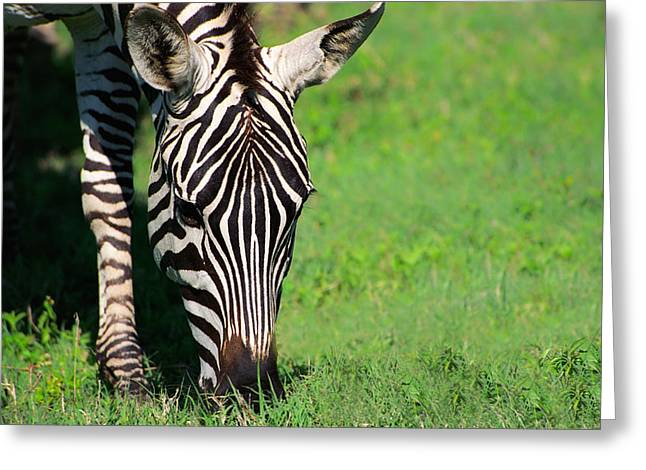 Zebras Greeting Cards - Zebra Greeting Card by Sebastian Musial
