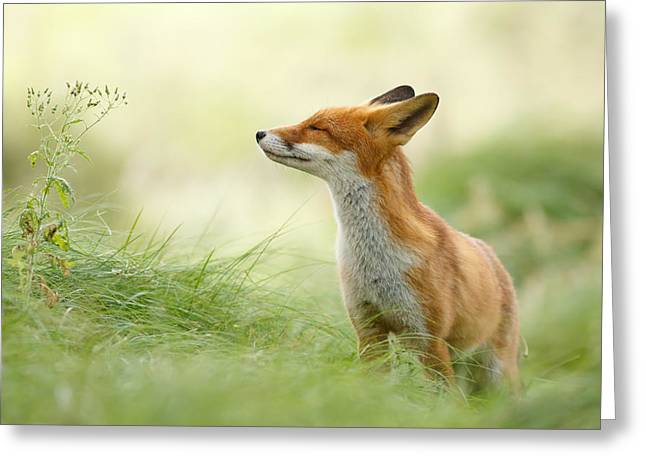 Red Foxes Greeting Cards - Zen Fox Greeting Card by Roeselien Raimond