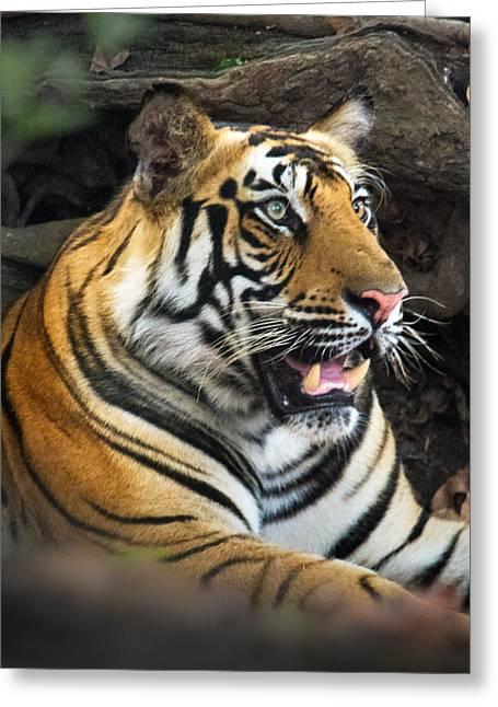 Bengal Tiger Panthera Tigris Tigris Greeting Card by Panoramic Images