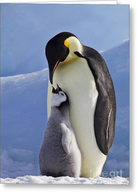 Hungry Chicks Greeting Cards - Emperor Penguin And Chick Greeting Card by Jean-Louis Klein & Marie-Luce Hubert