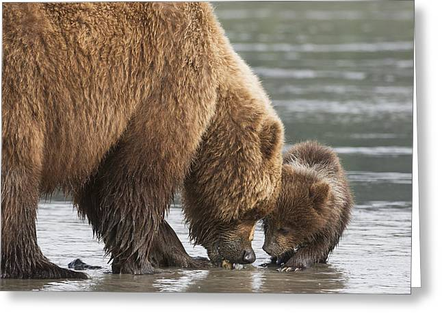 Clam In The Sand Greeting Cards - Grizzly Bear  Ursus Arctos Horribilis Greeting Card by Daisy Gilardini