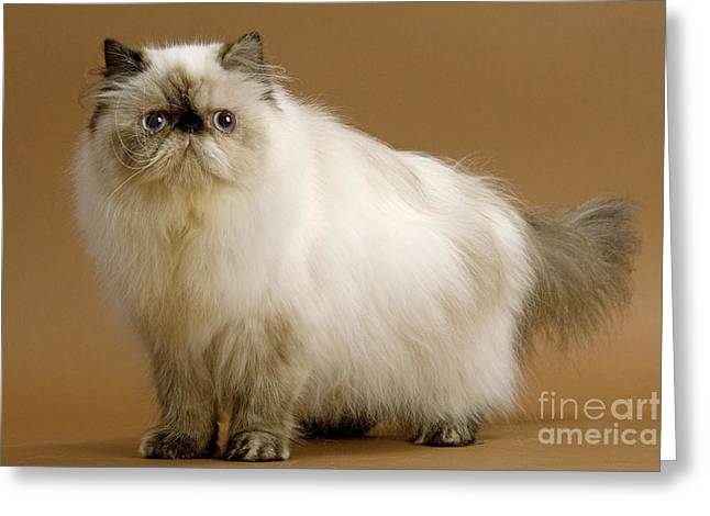 Tortie Greeting Cards - Persian Cat Greeting Card by Jean-Michel Labat