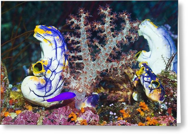 Cnidaria Greeting Cards - Sea Squirts Greeting Card by Georgette Douwma