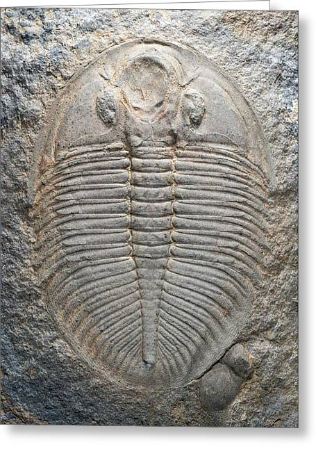 Paleozoology Greeting Cards - Trilobite Fossil Greeting Card by Sinclair Stammers