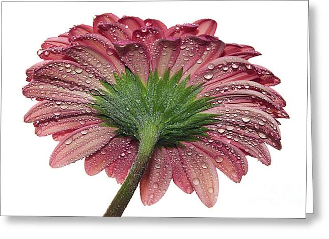 Pink Gerber Greeting Card by Elvira Ladocki