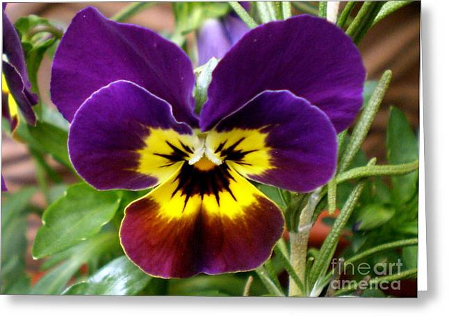 Johnny Jump Up Pansy Greeting Cards - 1039   Pansy Johnny Jump-Up Greeting Card by Darcy Haynes