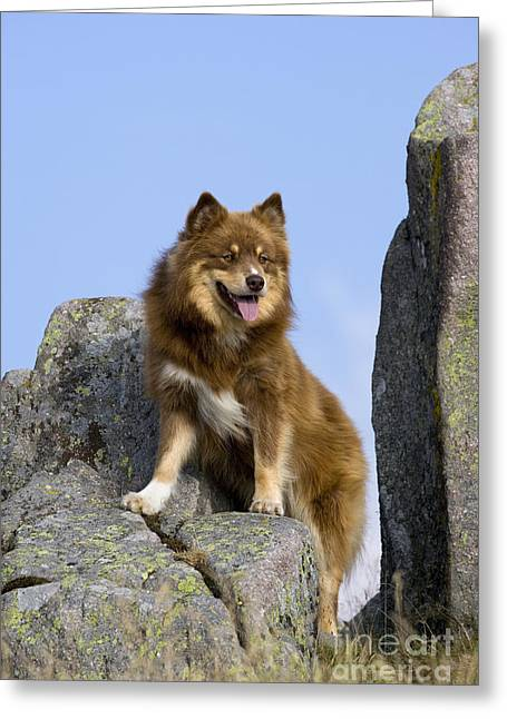 Watchdog Greeting Cards - Finnish Lapphund Greeting Card by Jean-Louis Klein & Marie-Luce Hubert