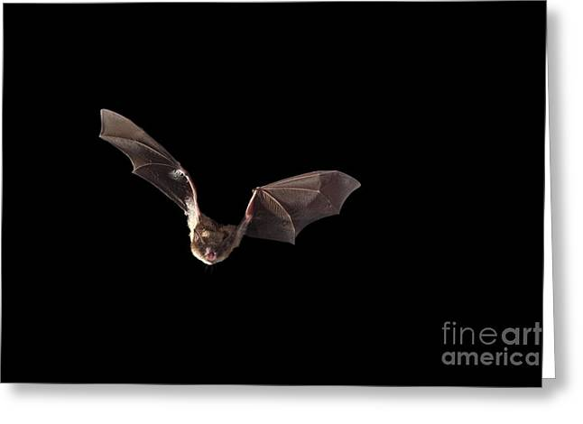 Chordata Greeting Cards - Little Brown Bat Greeting Card by Ted Kinsman
