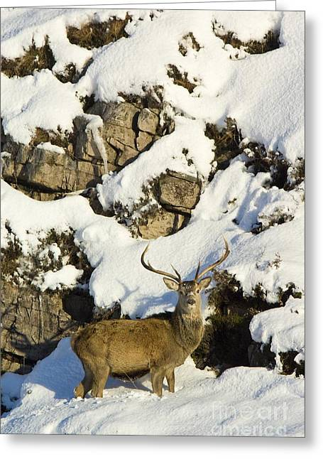 Grazing Snow Greeting Cards - Red Deer Stag Greeting Card by Duncan Shaw