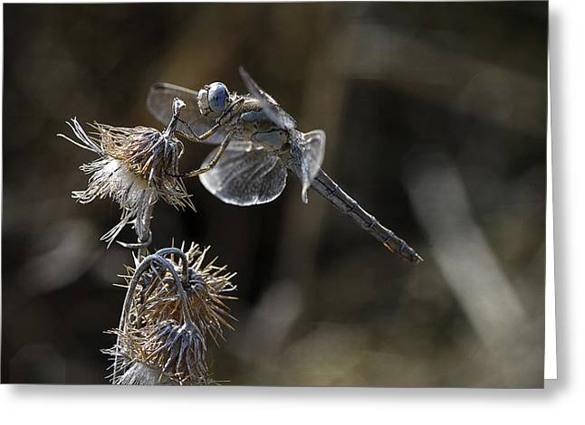 Dragonfly Greeting Cards - Untitled Greeting Card by Antonio Grambone