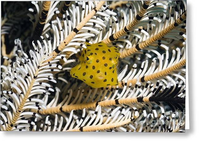 Brightly Colored Fish Greeting Cards - Yellow Boxfish Greeting Card by Georgette Douwma