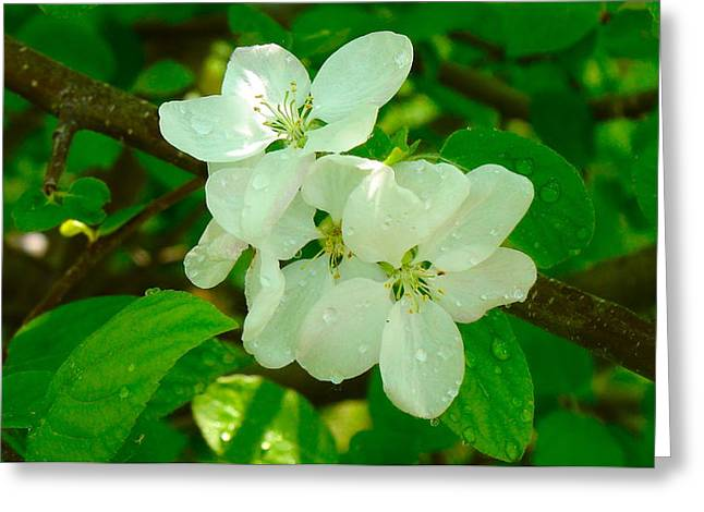 Fruit Tree Art Greeting Cards - Apple blossoms Greeting Card by Johanna Bruwer