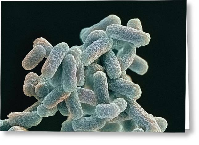 Rod-shaped Greeting Cards - E. Coli Bacteria, Sem Greeting Card by Steve Gschmeissner