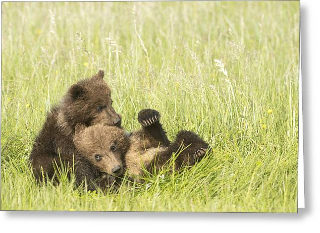Southcentral Alaska Greeting Cards - Grizzly Bear  Ursus Arctos Horribilis Greeting Card by Daisy Gilardini
