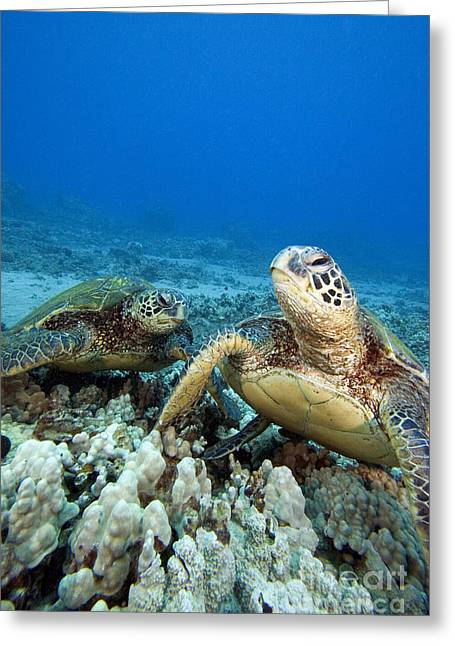 Ocean Art Photos Greeting Cards - Hawaii, Green Sea Turtle Greeting Card by Dave Fleetham - Printscapes