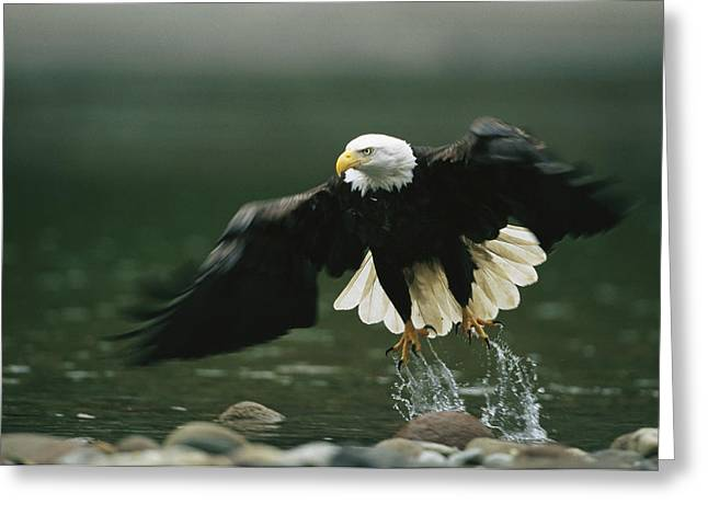 Recently Sold -  - Hunting Bird Greeting Cards - An American Bald Eagle In Flight Greeting Card by Klaus Nigge