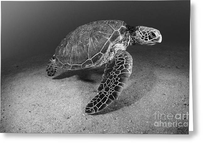 Undersea Photography Greeting Cards - Green Sea Turtle Greeting Card by Dave Fleetham - Printscapes