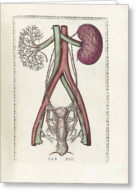 Excretory System Greeting Cards - The Science Of Human Anatomy Greeting Card by National Library of Medicine