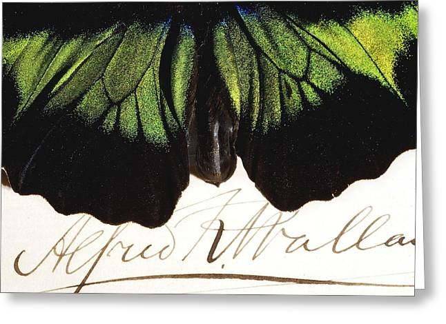 Signature Photographs Greeting Cards - 1855 Wallace And Rajah Brookes Birdwing Greeting Card by Paul D Stewart