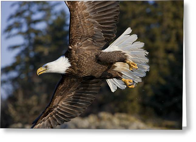 Tongass Greeting Cards - Bald Eagle Greeting Card by John Hyde - Printscapes