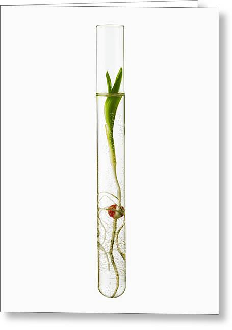 Cut-outs Greeting Cards - A Corn Seedling In A Test Tube On White Greeting Card by Scott Sinklier