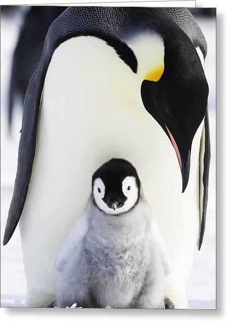 Adult Emperor Penguin  Aptenodytes Greeting Card by Daisy Gilardini