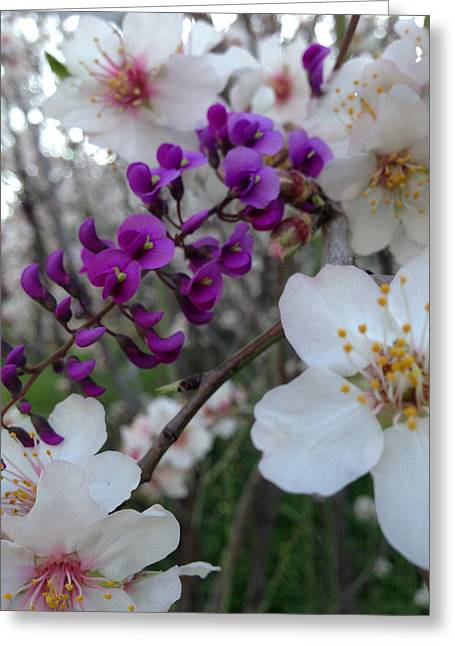 Ayn Greeting Cards - Almond Blossoms Wild Orchids in Ayn Carem Greeting Card by Adam Alalouf
