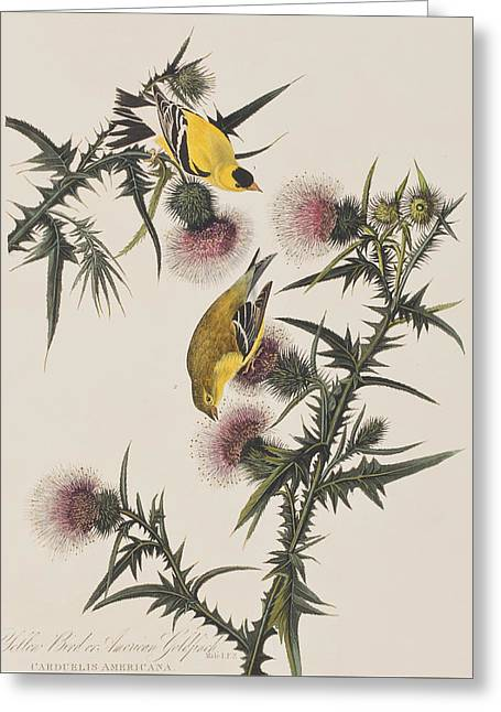 Finch Greeting Cards - American Goldfinch Greeting Card by John James Audubon