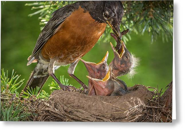Hungry Chicks Greeting Cards - American Robin Feeding Chicks Greeting Card by Jerry Fornarotto