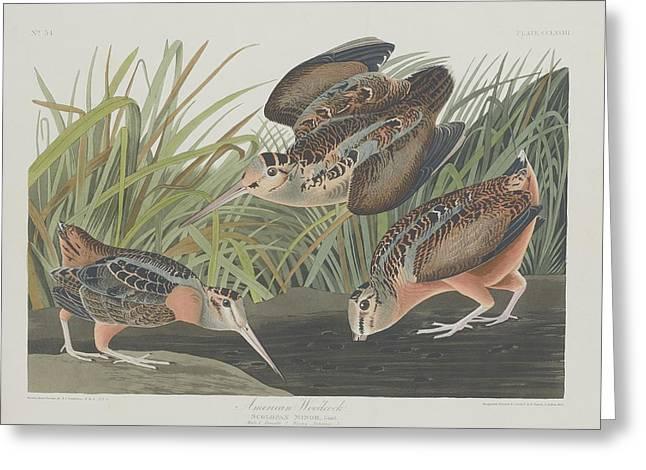 Woodcock Greeting Cards - American Woodcock Greeting Card by John James Audubon