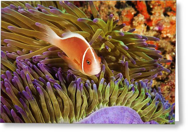 Tendrils Greeting Cards - Anemonefish Greeting Card by Dave Fleetham - Printscapes