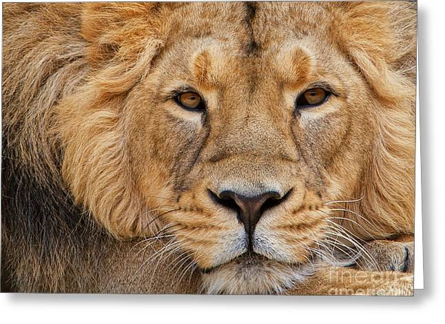 Lions Greeting Cards - Angolian Lion Greeting Card by White Stork Gallery