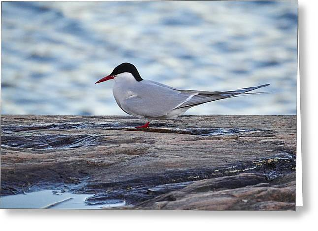 Tern Greeting Cards - Arctic tern Greeting Card by Jouko Lehto