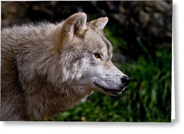 Arctic Wolf Portrait Greeting Card by Michael Cummings
