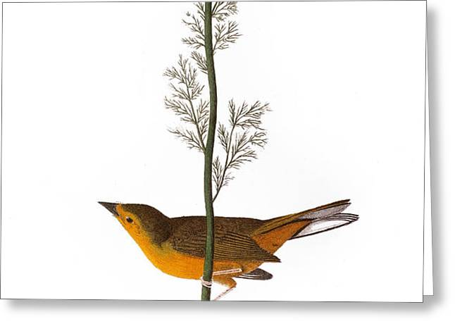 AUDUBON: WARBLER, (1827) Greeting Card by Granger