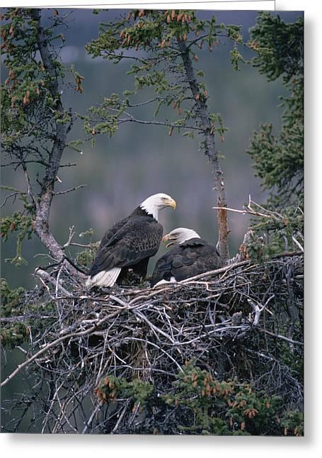 Three-quarter Length Greeting Cards - Bald Eagle Haliaeetus Leucocephalus Greeting Card by Michael Quinton