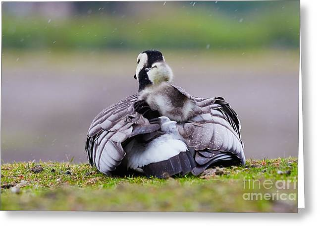 Mother Goose Greeting Cards - Barnacle Goose with chick in the rain Greeting Card by Nick  Biemans