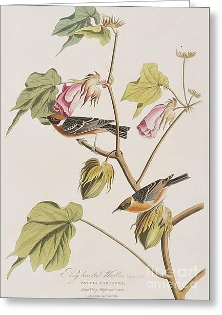 Bay Breasted Warbler Greeting Card by John James Audubon