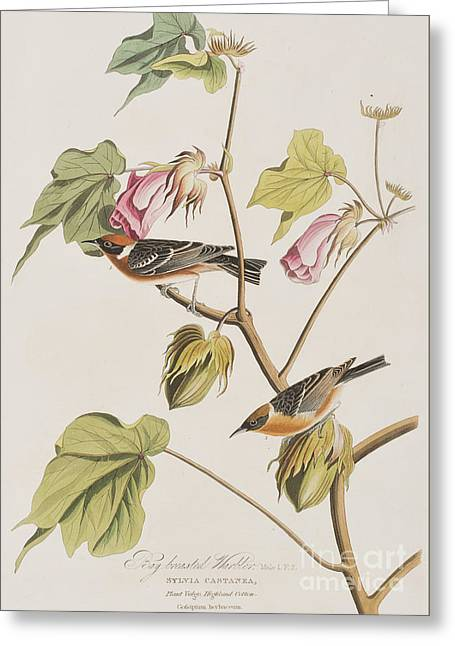 Warblers Greeting Cards - Bay Breasted Warbler Greeting Card by John James Audubon