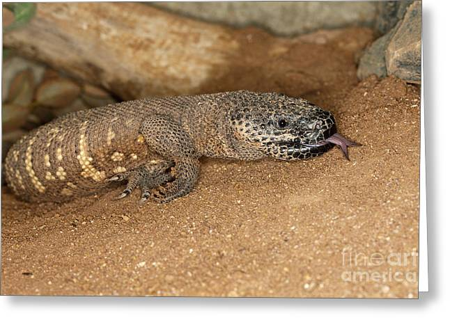 Forked Tongue Greeting Cards - Beaded Lizard Heloderma Horridum Greeting Card by Gerard Lacz